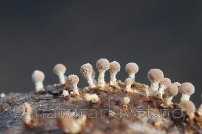 SIR_3437 / Onygena equina / Hornsopp