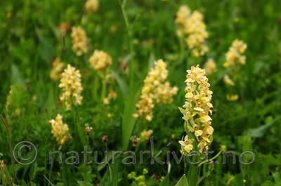 SIR_5403 / Dactylorhiza sambucina / Søstermarihand