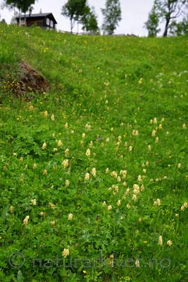 SIR_5511 / Dactylorhiza sambucina / Søstermarihand