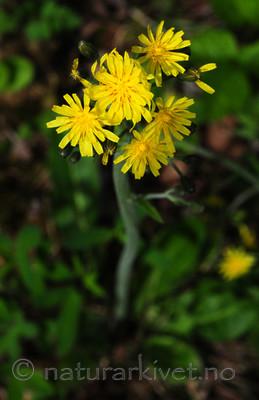 SIR_5625 / Crepis praemorsa / Enghaukeskjegg