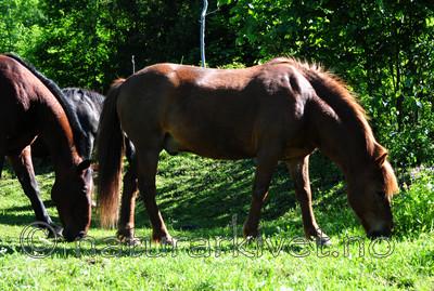 SIR_5681 / Equus caballus / Hest