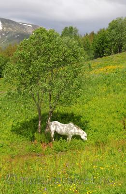 SIR_5814 / Equus caballus / Hest