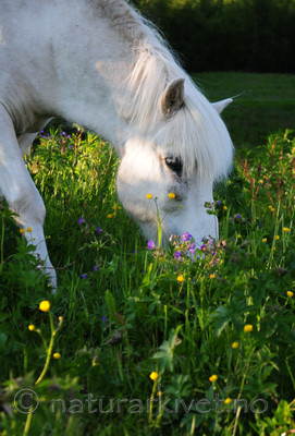 SIR_5821 / Equus caballus / Hest