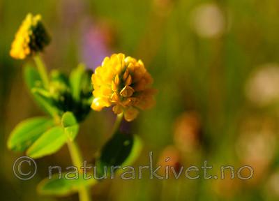 SIR_6049 / Trifolium aureum / Gullkløver
