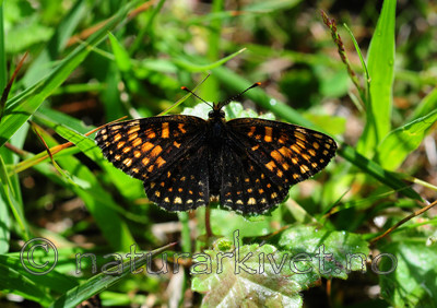 SIR_6185 / Melitaea diamina / Mørk rutevinge