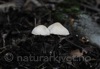 SIR_7252 / Cystolepiota bucknallii / Lilla melparasollsopp