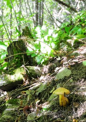 SIR_7433 / Cortinarius cotoneus / Hasselslørsopp
