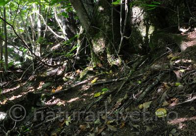 SIR_7440 / Cortinarius caesiocortinatus / Rasmarkslørsopp