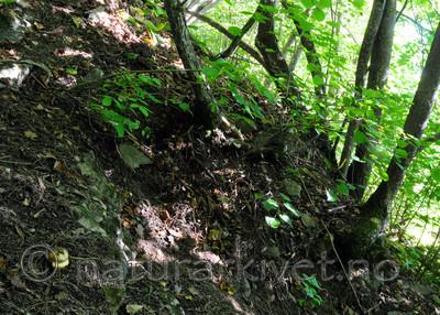 SIR_7454 / Cortinarius caesiocortinatus / Rasmarkslørsopp