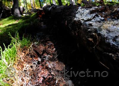 SIR_7846 / Hydnellum gracilipes / Skyggebrunpigg