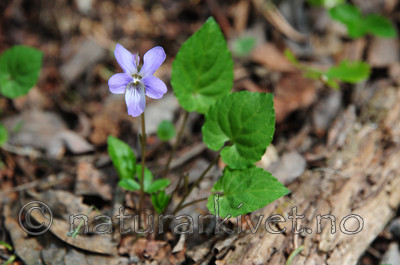 SIR_9180 / Viola selkirkii / Dalfiol