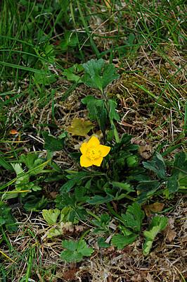 SIR_9464 / Ranunculus bulbosus / Knollsoleie