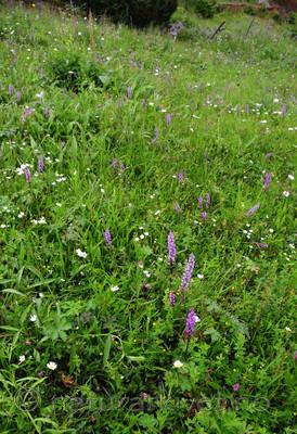 SIR_9845 / Gymnadenia conopsea / Brudespore