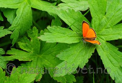 SR0_0062 / Lycaena virgaureae / Oransjegullvinge