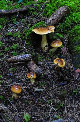 SR0_0831 / Cortinarius nanceiensis / Bananslørsopp