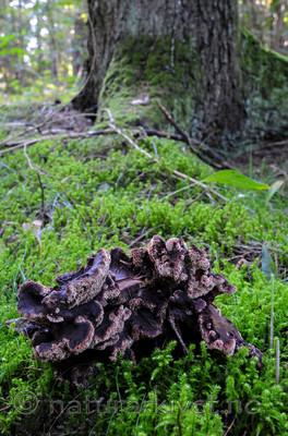 SR0_0845 / Sarcodon lundellii / Vrangstorpigg