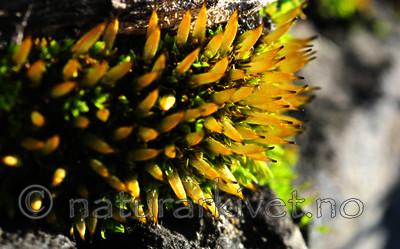 SR0_1269 / Encalypta vulgaris / Småklokkemose
