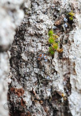 SR0_2448 / Proliferodiscus tricolor / Eikehårskål
