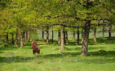 SR0_2706 / Equus caballus / Hest