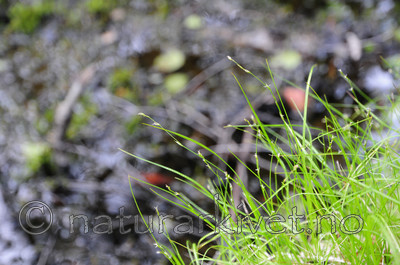 SR0_3621 / Carex disperma / Veikstarr