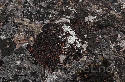 SR0_4745 / Squamarina gypsacea