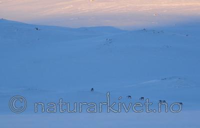 SR0_6185-4 / Rangifer tarandus tarandus / Fjellrein