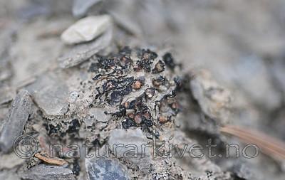 SR0_7196 / Enchylium limosum / Leirglye