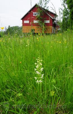 SR0_7353 / Platanthera montana / Grov nattfiol