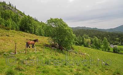 SR0_7396 / Equus caballus / Hest