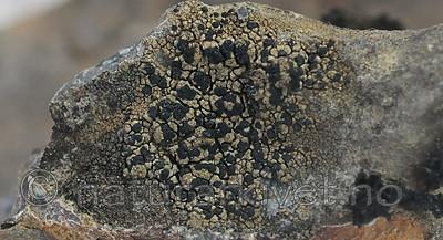 SR0_7461 / Toninia philippea