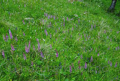 SR0_7549 / Gymnadenia conopsea / Brudespore