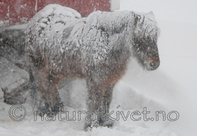 SR0_8937 / Equus caballus / Hest