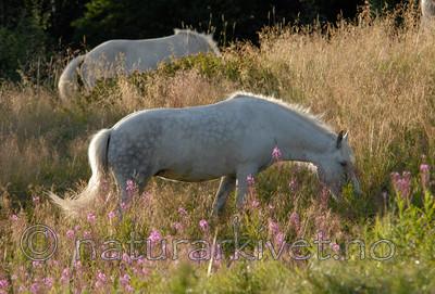 _SRE1034 / Equus caballus / Hest