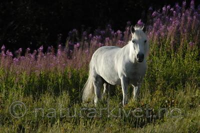 _SRE1039 / Equus caballus / Hest