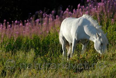 _SRE1040 / Equus caballus / Hest