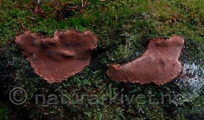 _SRE1326 / Phellinus nigrolimitatus / Svartsonekjuke
