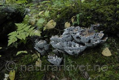 _SRE1532 / Hydnellum suaveolens / Duftbrunpigg
