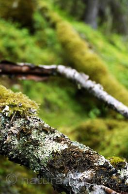 _SRE3131 / Pseudocyphellaria crocata / Gullprikklav