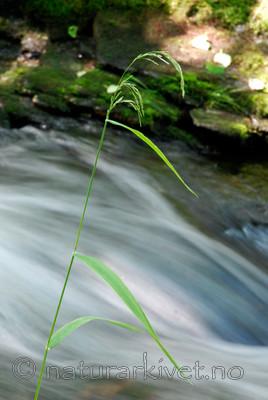 _SRE4051 / Cinna latifolia / Huldregras