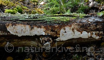 _SRE5583 / Antrodia albobrunnea / Flekkhvitkjuke