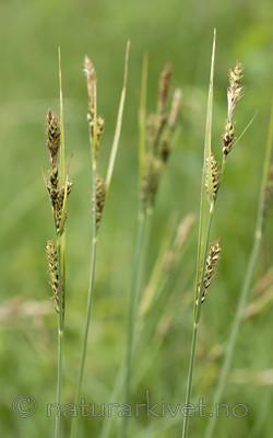 _SRE7657 / Carex hartmanii / Hartmansstarr