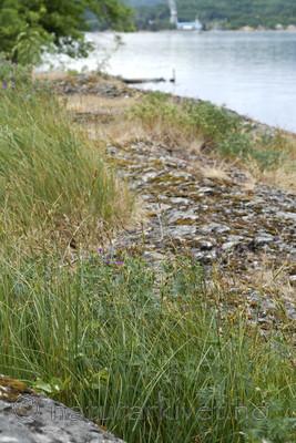 _SRE7677 / Carex hartmanii / Hartmansstarr