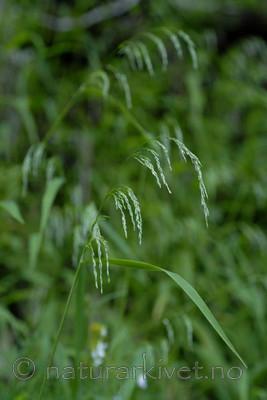 _SRE8384 / Cinna latifolia / Huldregras