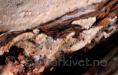 _SRE8548 / Sistotrema raduloides / Kronepiggskinn