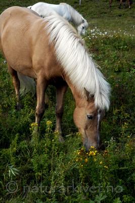 _SRE8581 / Equus caballus / Hest