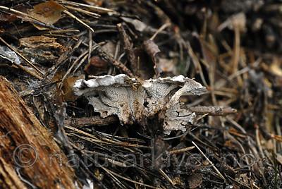 _SRE9019 / Phellodon secretus / Huldresølvpigg