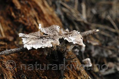 _SRE9030 / Phellodon secretus / Huldresølvpigg