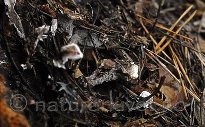 _SRE9037 / Phellodon secretus / Huldresølvpigg