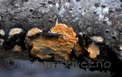 _SRE9457 / Antrodiella americana / Broddsoppsnyltekjuke <br /> Hymenochaete tabacina / Tobakksbroddsopp