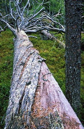 bb027 / Pinus sylvestris / Furu
